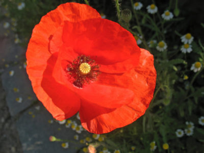 мак садовый многолетний посадка и уход