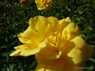 желтые почвопокровные розы