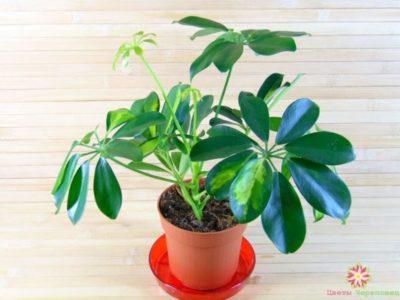шеффлера родина растения