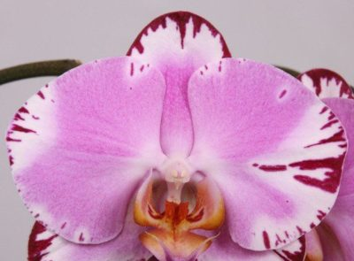 как определить вид орхидеи