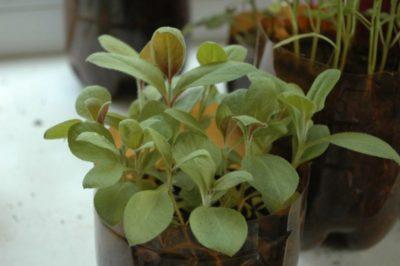 молочай окаймленный выращивание из семян