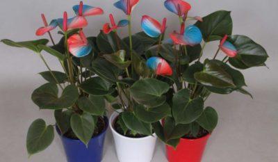 как ухаживать за цветком антуриум