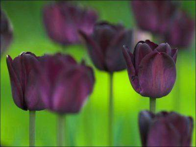желтые и фиолетовые тюльпаны