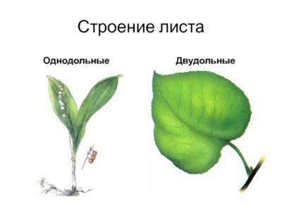 двудольные комнатные растения