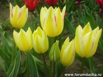 кустовые тюльпаны посадка