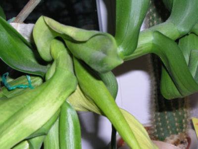 пропадает орхидея что делать