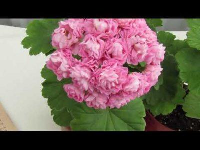 пеларгония пинк розебуд