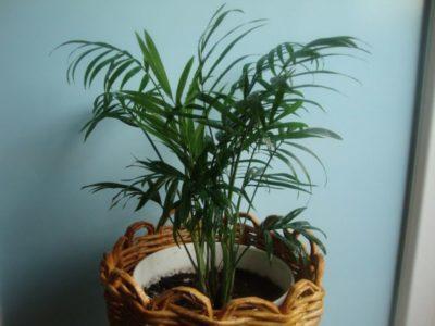 хамедорея изящная из семян