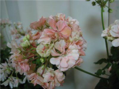 пеларгония happy appleblossom
