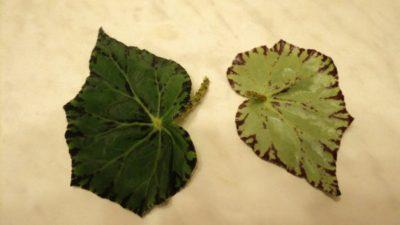 бегония размножение листом