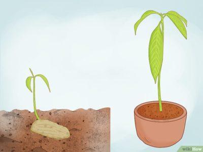 манго как посадить