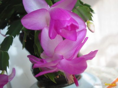 как называется цветок декабрист