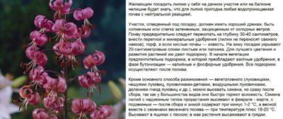 как сажать лилии весной луковицами