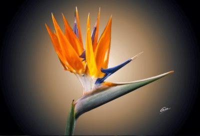 стрелиция райская птица выращивание из семян