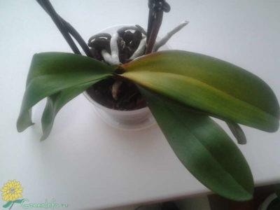 у фаленопсиса желтеют листья что делать