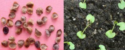 как собрать семена с тюльпанов
