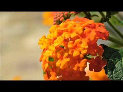 лантана камара любава выращивание из семян