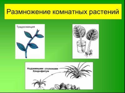 какие растения размножаются черенками