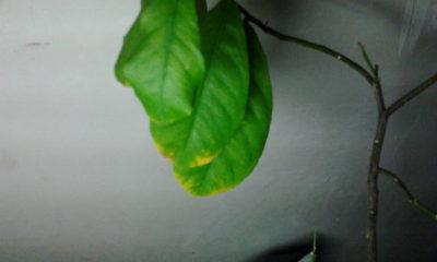 почему у лимона сохнут листья