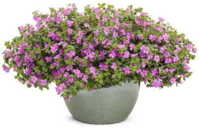 ампельные многолетние растения