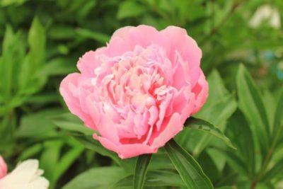 пион розовый сад