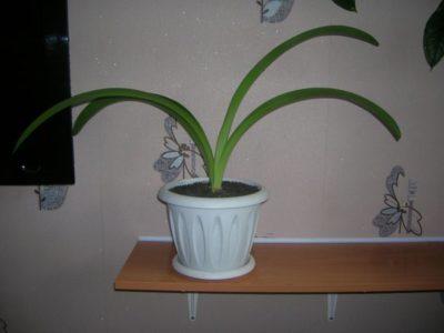 кливия размножение в домашних условиях