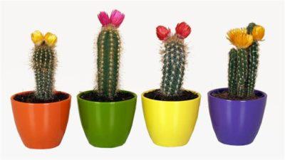 можно ли дарить кактус