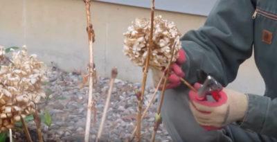 гортензия древовидная уход осенью подготовка к зиме