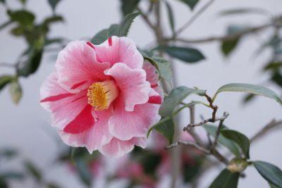 комнатные растения японская камелия