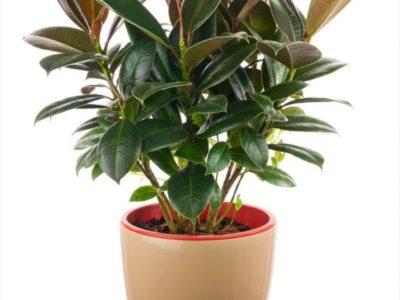 фикус ядовитое растение