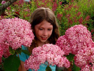 гортензия розовая сорта