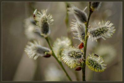 как цветет ива