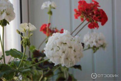 пеларгония зональная выращивание из семян